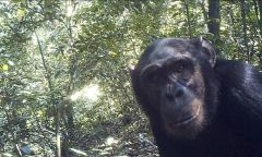 Chimpanzees of Bili-Uele forest caught on camera trap installed by primatologist Cleve Hicks , DRC